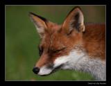 1899 sly fox
