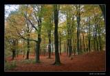 2164 beechforest in early autumn, Vilsteren