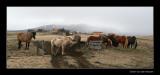 1235 Icelandic ponies