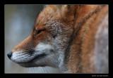 5097 fox