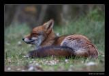 5510 lying fox