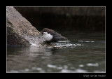 6230 dipper with prey