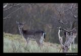 4526 fallow deer