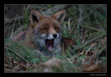 4746 yawning fox lying in the grass