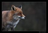 5894 fox