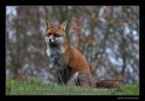 6477  fox
