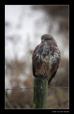 7028 buzzard with cold feet