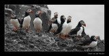 9793 puffins, Farne Islands