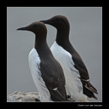0351 guillemots, Farne Islands