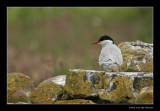 9567 arctic tern, Farne Islands