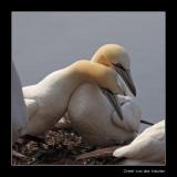 2160 cuddling gannets, Bass Rock