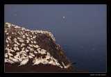 1557 gannets on the cliffs of Bass Rock