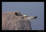 1120 flying gannet in front of Bass Rock
