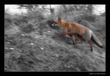 9941 running fox