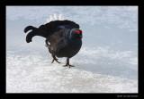 8536 black grouse