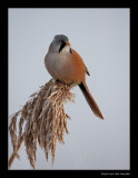 9341 bearded tit