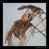 9226 bearded tit