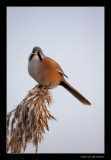 9340 bearded tit