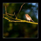 7389 pied flycatcher in eveninglight