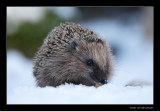 0631 hedgehog in snow