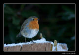 0668 robin in snow