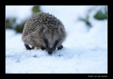 0821 hedgehog in snow