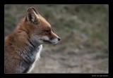 0343 fox