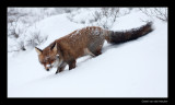 1601 fox walking down in snow