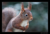 6424 red squirrel