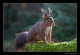 8432 red squirrel