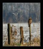 4451 buzzard in snowy landscape