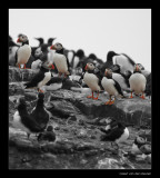 9786 puffins, they are with a lot of them