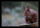 9240 red squirrel