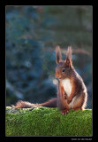 8909 red squirrel