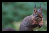 1340 red squirrel