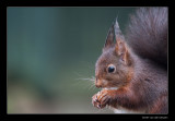 2461 red squirrel