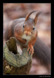 3097 red squirrel in the wind