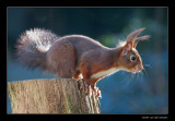 3939 red squirrel ready to jump