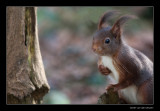 3312 red squirrel