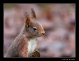 2676 red squirrel