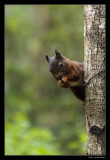 5015 red squirrel