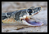 Serp de ferradura (Coluber hippocrepis)