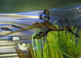 Blurry - A little leafy sea dragon!