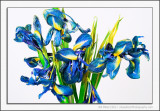 Wilting Irises
