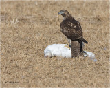 Red-tailed Hawk / Snow Goose