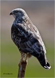 Rough-legged Hawk  (backlit)