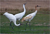 _whooping_cranes