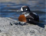 Harlequin Duck (Drake)