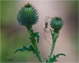 Canadian Thistle / Daddy Long Legs