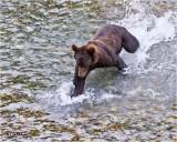 Grizzly-Chum Salmon